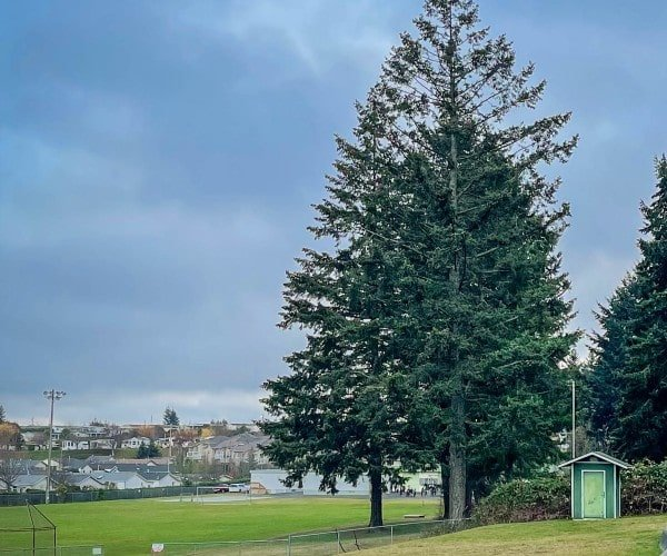 large tree, cedar sports field